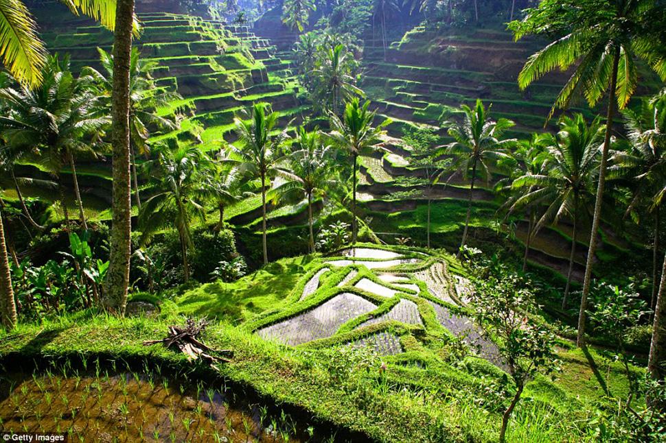 Рисовые поля Убуда на Бали —довольно известное место, но пока не сильно испорченное. Туристам не ра
