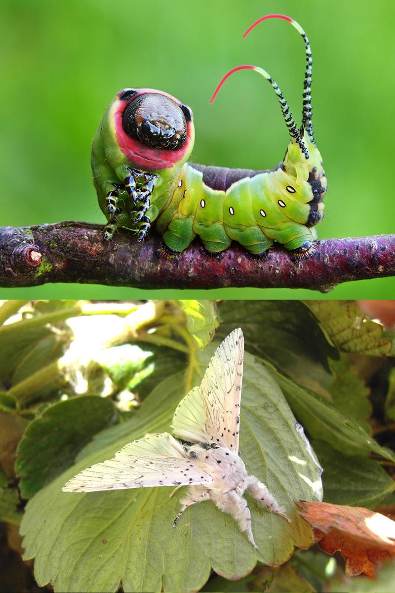 Цекропия (Hyalophora cecropia)