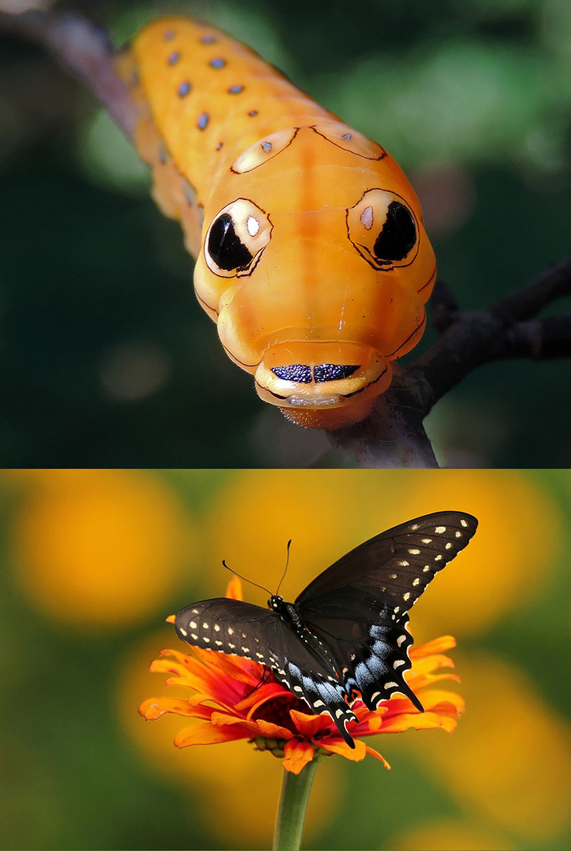 Черный Махаон (Papilio polyxenes)
