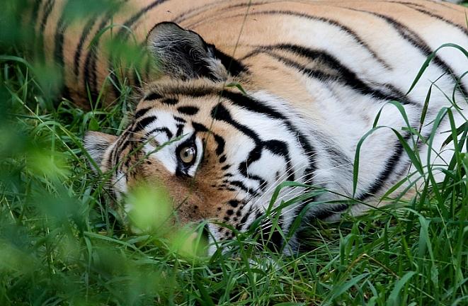 Ростовчанам скажут про амурского тигра идальневосточного леопарда