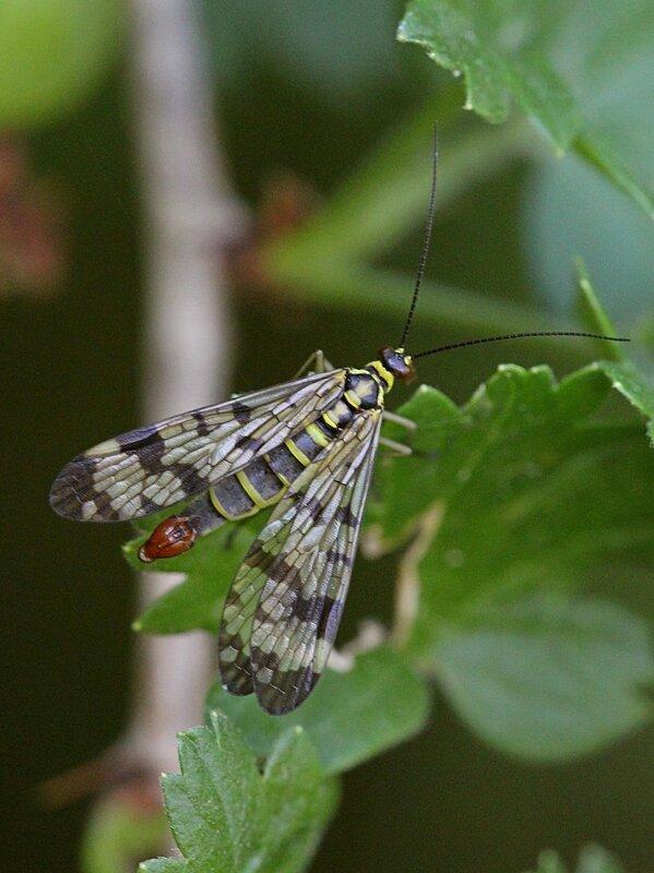 Самец скорпионницы обыкновенной (Panorpa communis) желтое с чёрным узором насекомое с четырьмя узорчатыми крыльями, длинными усами и удлинённой головой (рострум) а также скорпионьим хвостом
