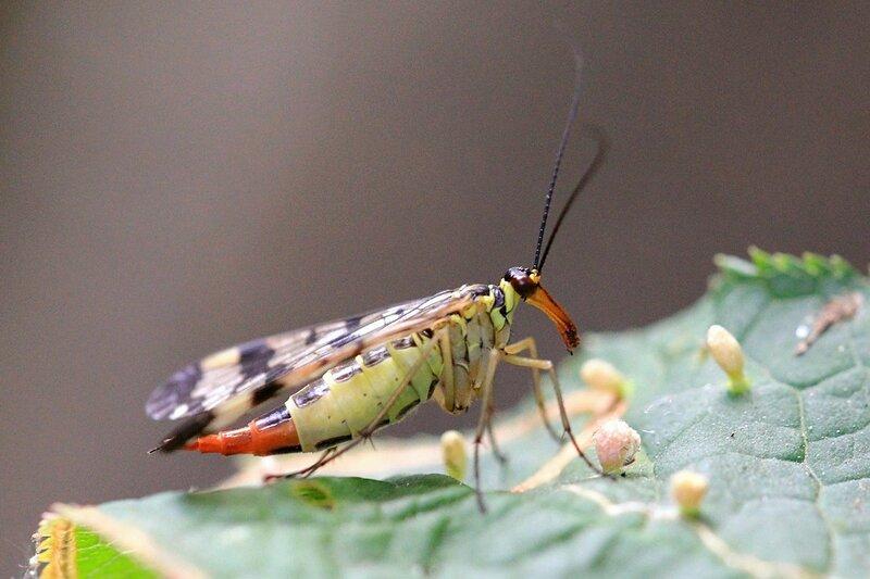 Самка скорпионницы обыкновенной (Panorpa communis) желтое с чёрным узором насекомое с четырьмя узорчатыми крыльями, длинными усами и удлинённой головой (рострум) а также скорпионьим хвостом