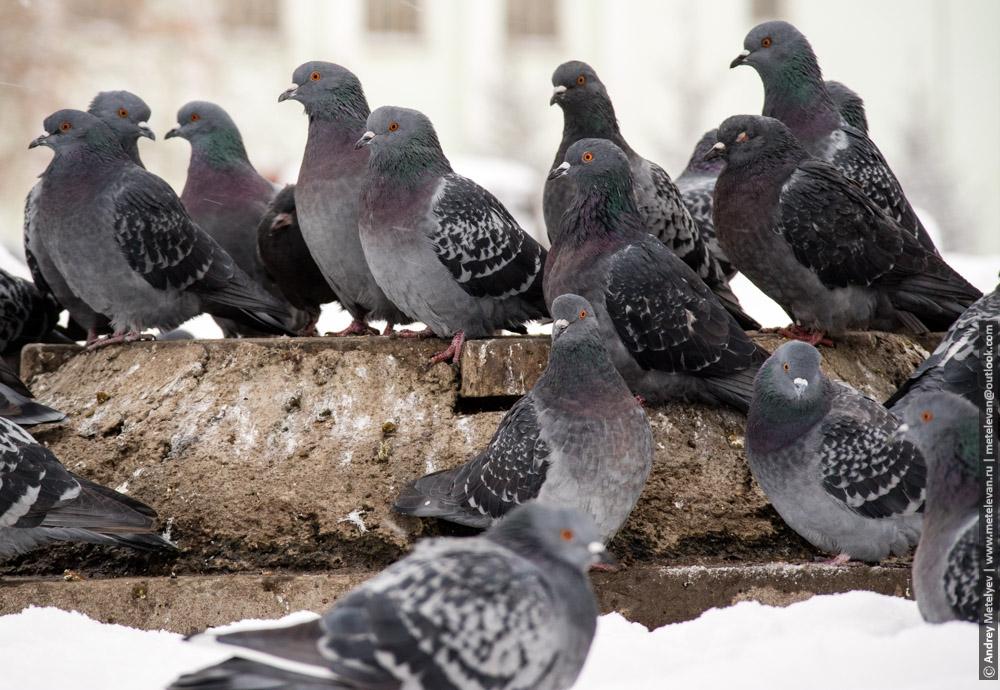 много голубей сидящих на крышке люка
