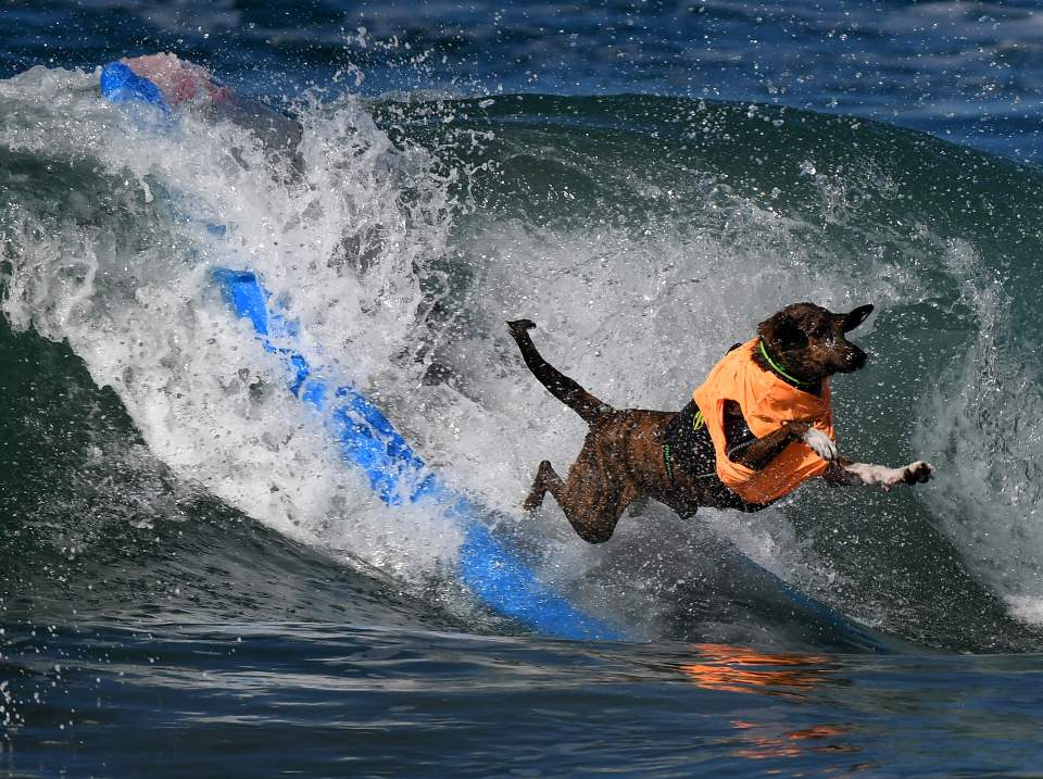 A surf dog wipes out during the 8th annu