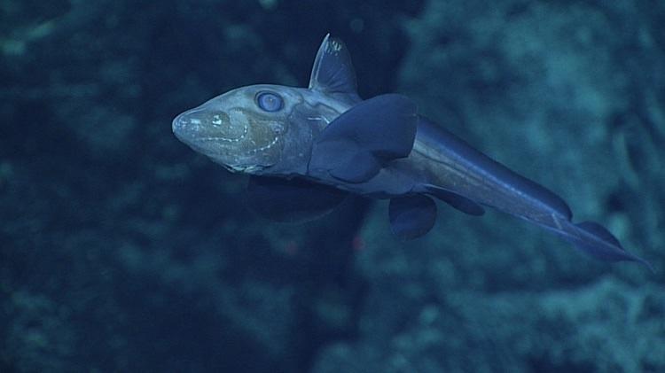 Наркомедуза у морского дна на глубине около 560 метров.