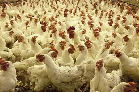 ВМосковской области выявлена вспышка птичьего гриппа