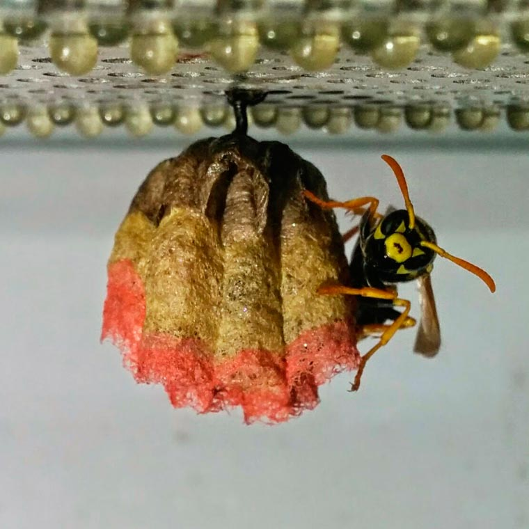 Give some colorful paper to wasps, and they will build rainbow nests!