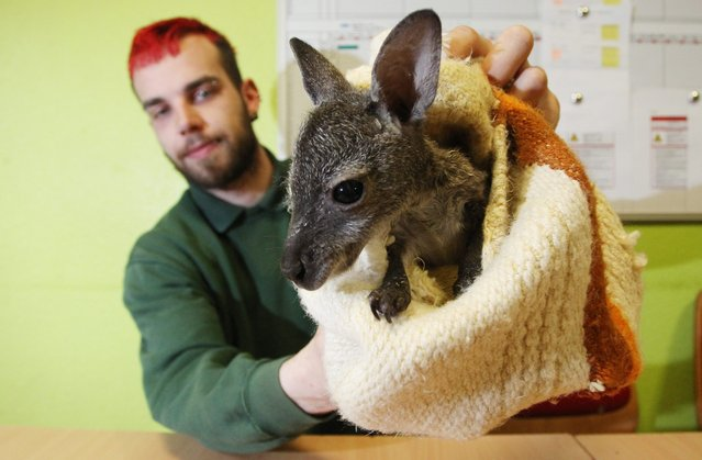 "Michael Engelmann, director of the Koethen Zoo, holds up kangaroo joey ""Muffin"" in Koethen, Germany,"