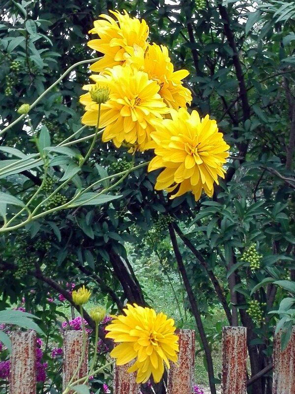 Цветы райского садика - золотые шары