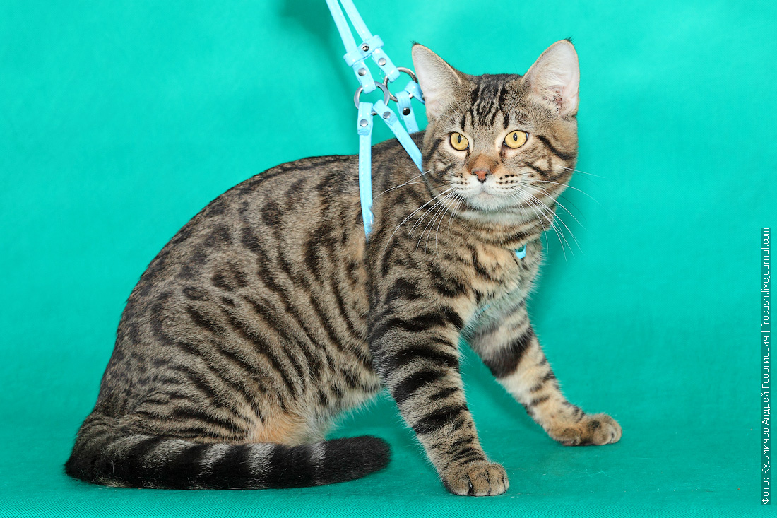 питомник создания новой породы кошек пантеретта