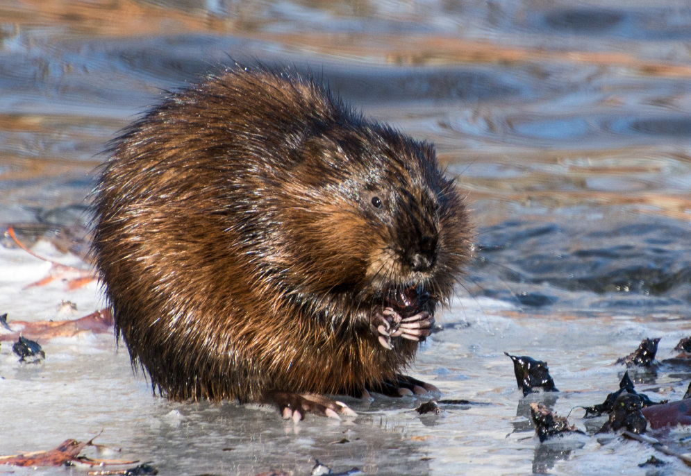 Beaver at Forest Grove Reservation - 2014-03-30