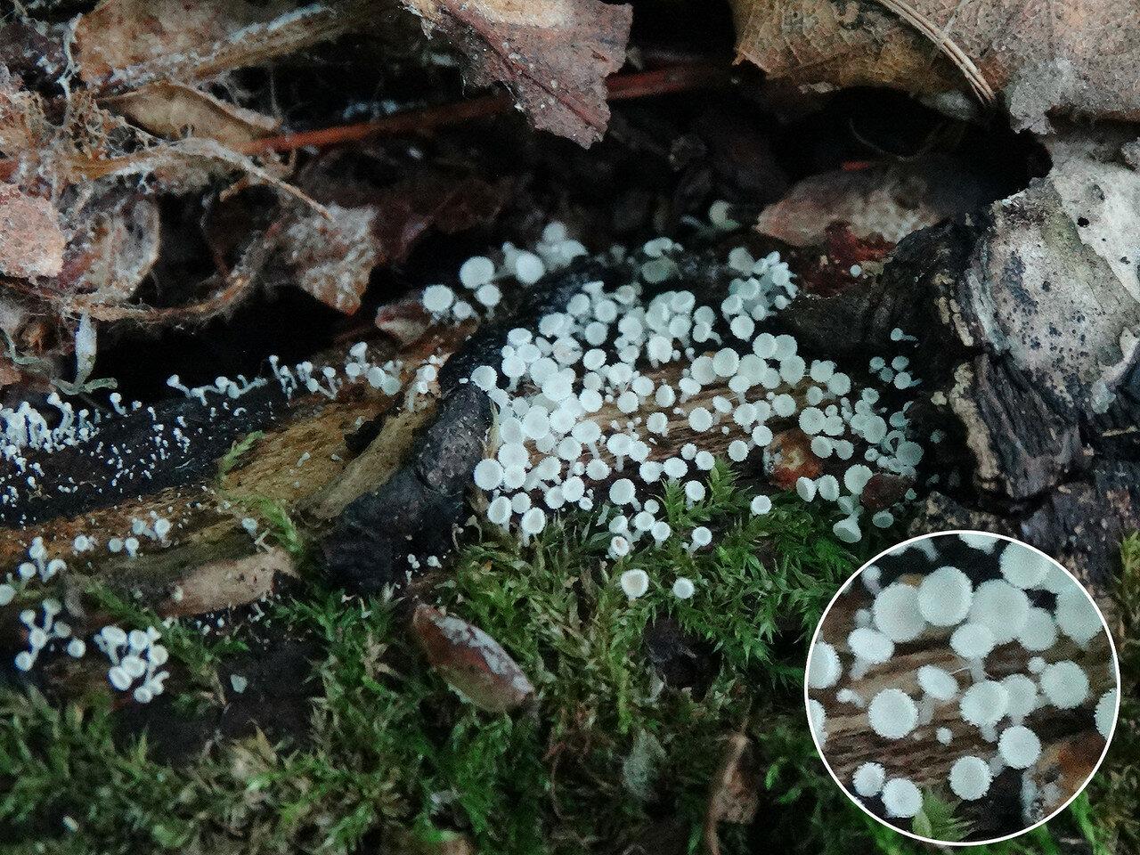 Лахнум девственно-белый (Lachnum virgineum). Автор фото: Привалова Марина