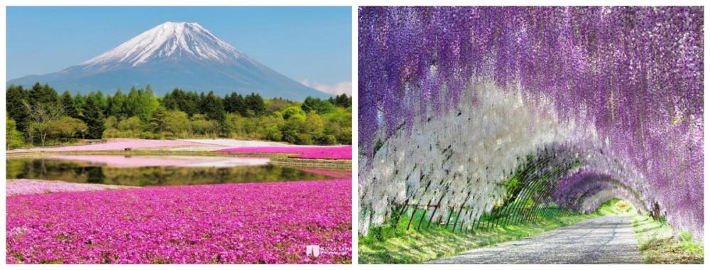 © meteocity  © Kenji Yamamura  Сады Кавачи Фуджи, Уэно иХицужияма впериод цветения сак