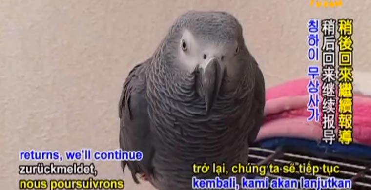 7. Попугай Йосуке Расстояние: неизвестно Сколько отсутствовал: неизвестно Когда японскому попугаю Йо