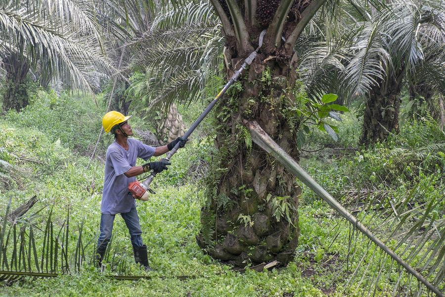 12. Миф №10 Продолжительность жизни Ходят слухи, что в странах с большим потреблением пальмового мас