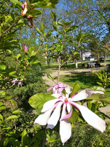 Розовый кустарник1.jpg