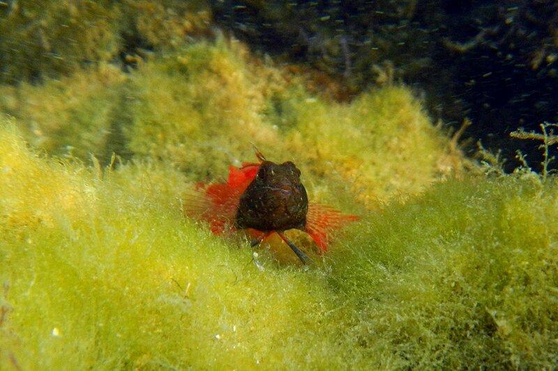 Троепёр черноголовый (Tripterygion tripteronotus) - черноморская рыбёшка красного цвета с чёрной головой, среди водорослей, самец