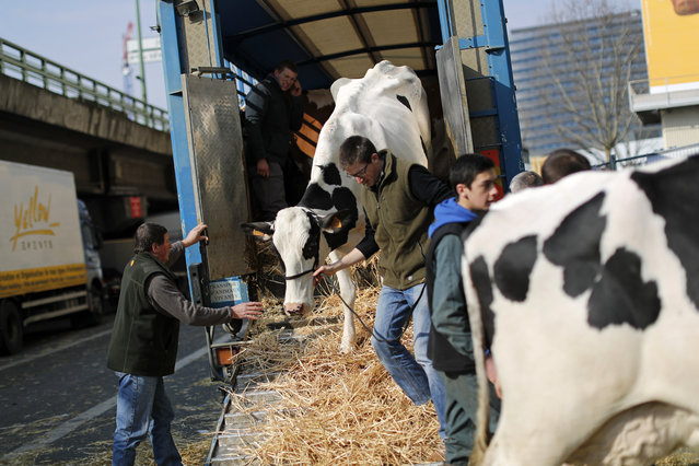 A French farmer leads his cow off a lorry on the eve of the opening of the International Agricultura