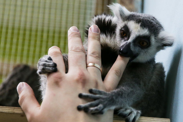 A visitor plays with a ring-tailed lemur (Lemur catta) at Zveryushki, Moscow's largest petting