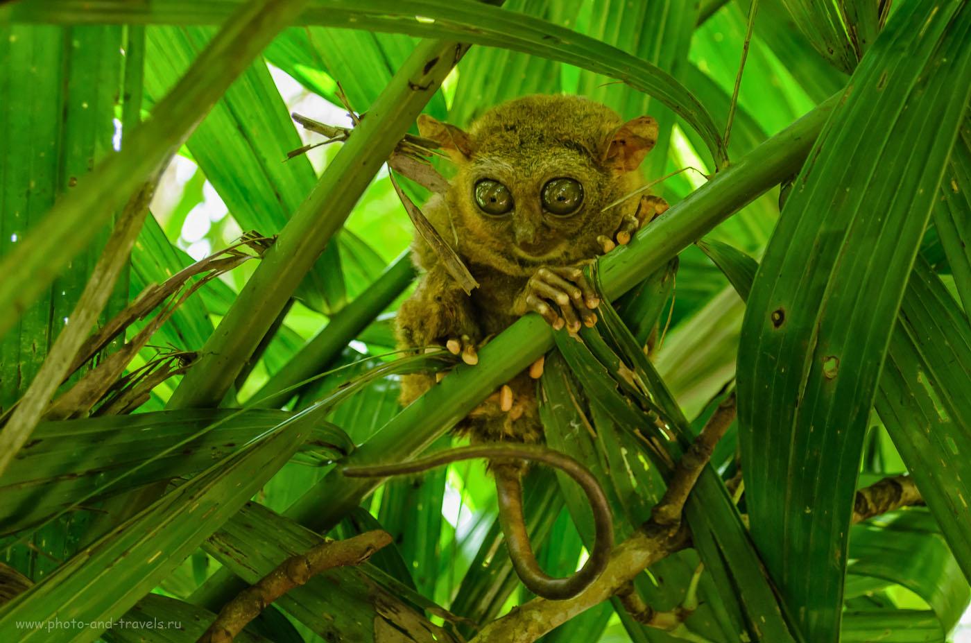 Фотография 6. Долгопят на филиппинском острове Бохоль (Bohol Island). 1/60, 5.3, 800, 40.