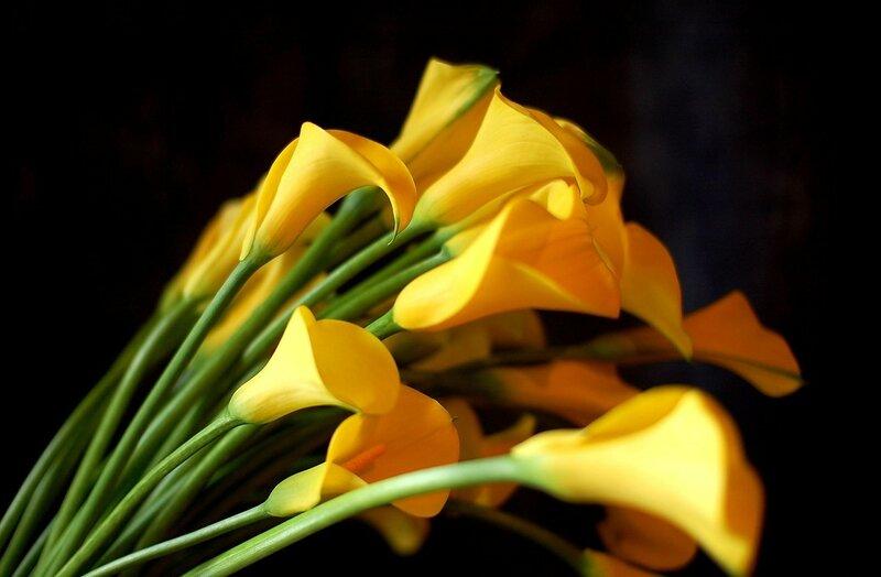 yellow-calla-lilies-hd-2550x1670.jpg