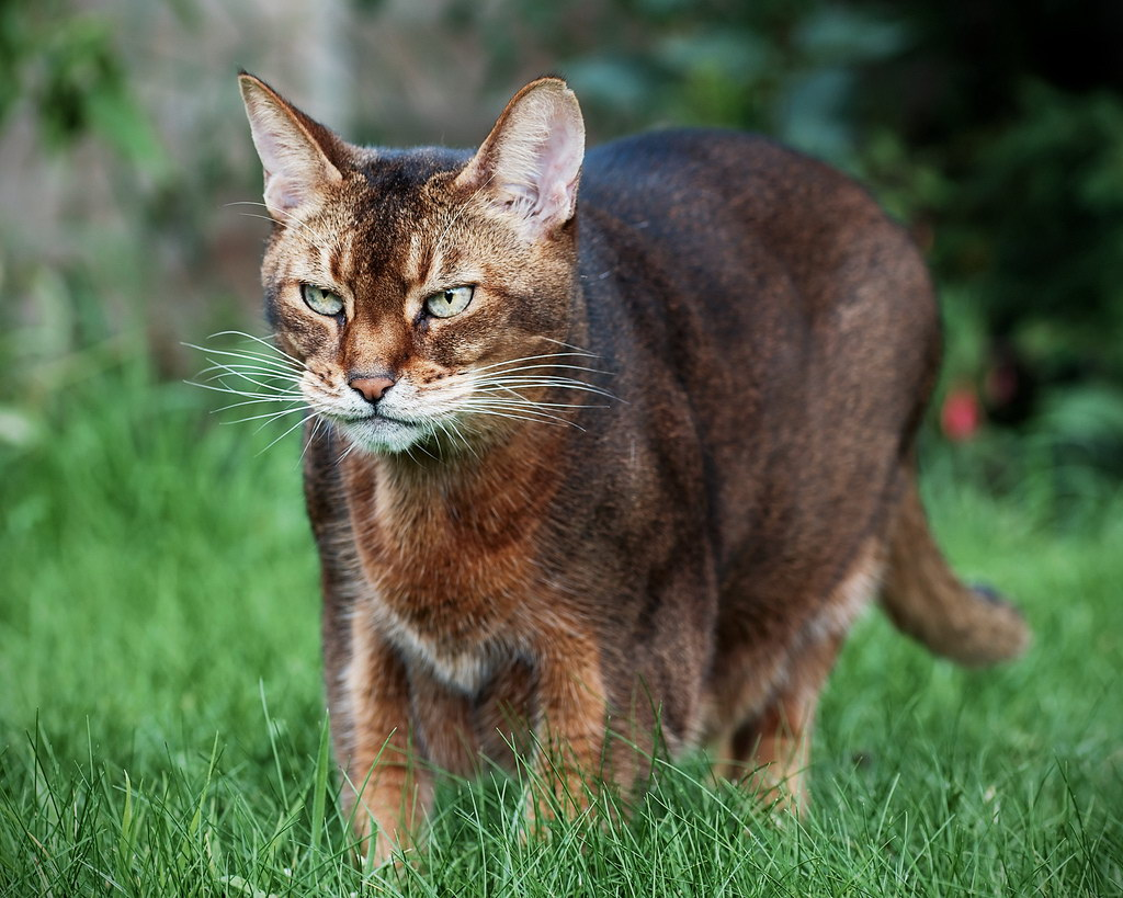Абиссинский кіт