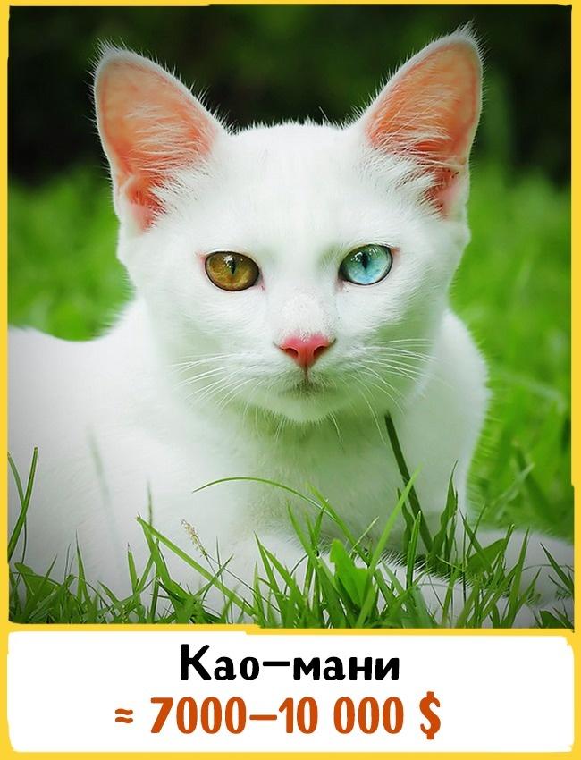 © catsplace.org  Самое раннее упоминание обэтой породе находится вTamra Maew, или вКошачьей