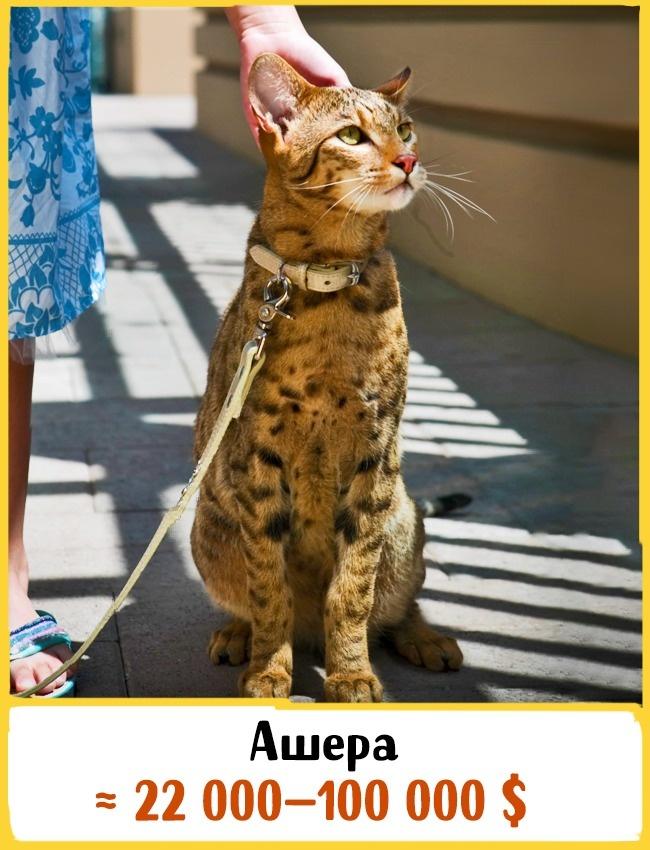 © flickr.com  Ашера— самая экзотическая домашняя кошка вмире. Она была выведена путем скрещи