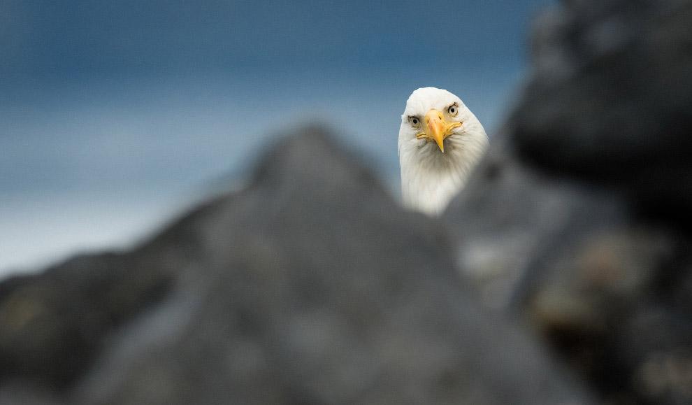 6. А вот полярные совы бывает, что выглядят очень довольными. (Фото Edward Kopeschn   Barcroft