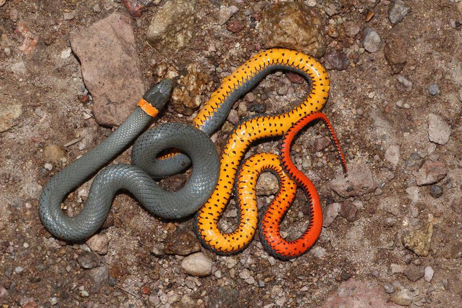 12. Точечная ошейниковая змея