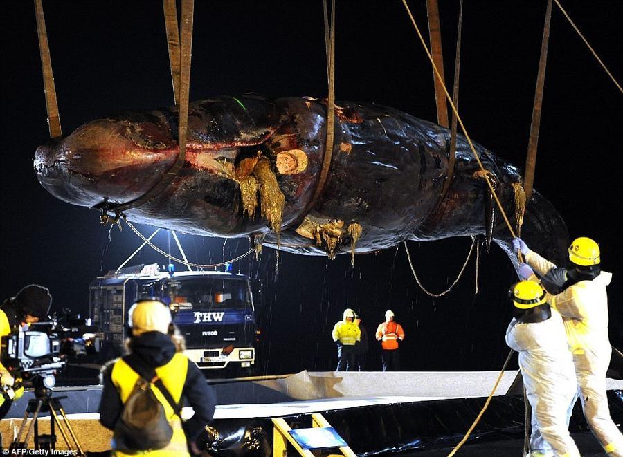 18. Кран поднимает тушу одного из двух кашалотов, найденных на острове Вангероге на севере Германии.