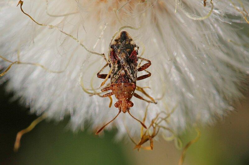 Клоп-булавник (лат. Rhopalidae), вероятно Rhopalus parumpunctatus (Ропалус обыкновенный) или Rhopalus subrufus (Ропалус красноватый) на распушившемся цветке мать-и-мачехи