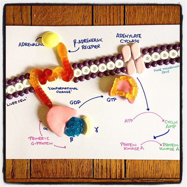 Candy Anatomy - This student continues to learn human anatomy with candies