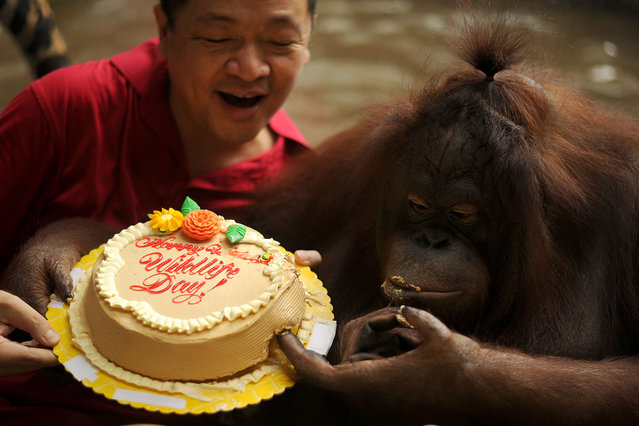 "Zoo owner Manny Tangco (C) presents a cake to a female orangutan named ""Marimar"" at the Malabon Zoo"