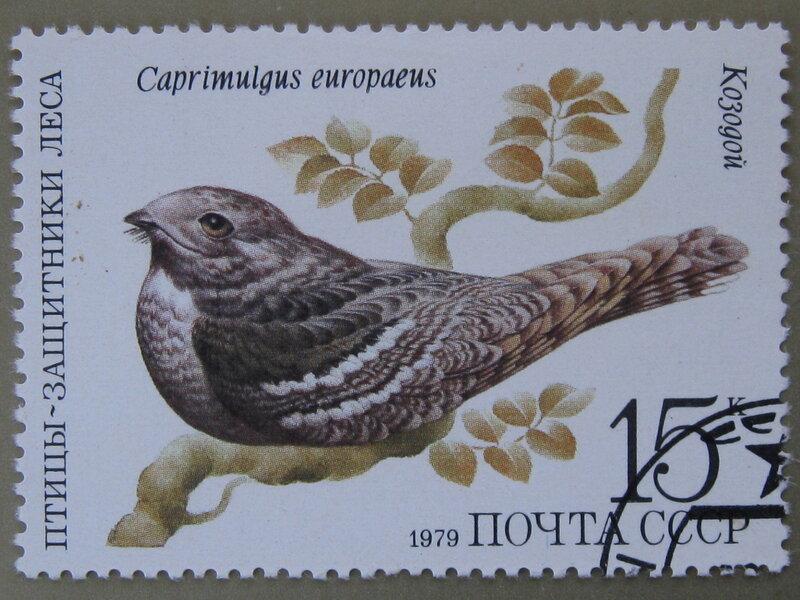 Козодой (Caprimulgus europaeus).