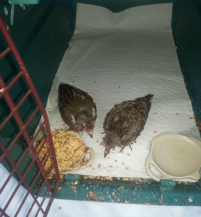Птенцы, выпавшие из гнезда