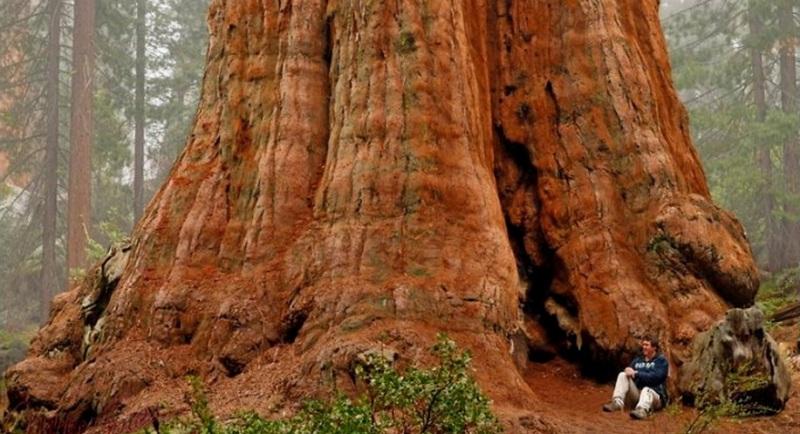 Найбільше в світі дерево