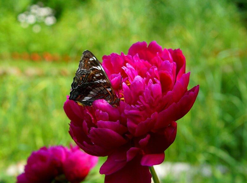 бабочка и пион