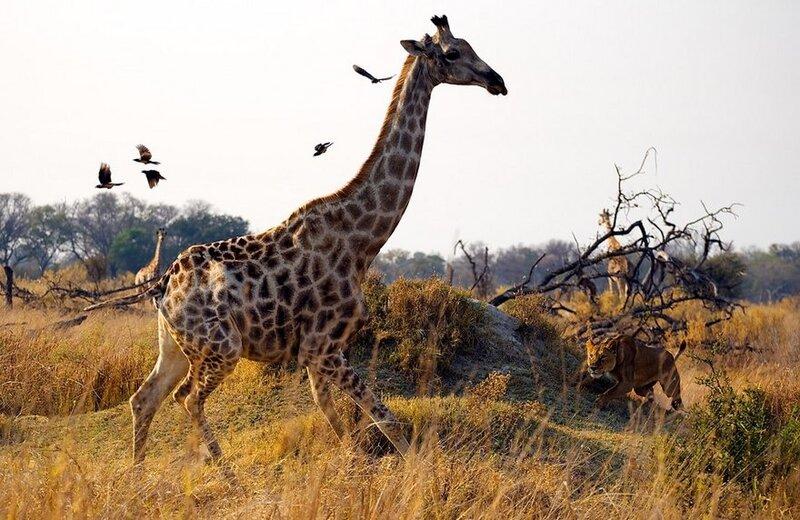 Охота на жирафа