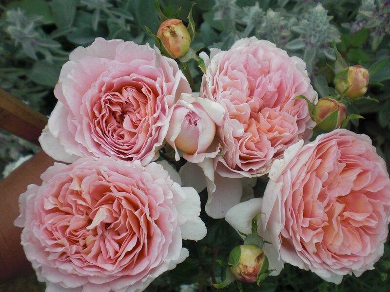 Галерея роз - Abraham Darby.