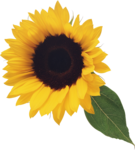 Sunflower Images  Pixabay  Download Free Pictures