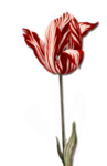 tulips5.png