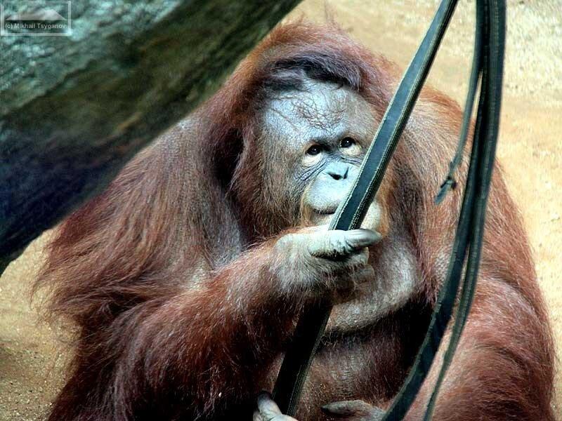Орангутаны - Рагунан