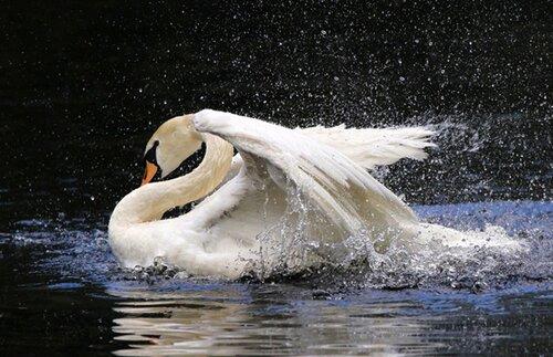 Лебеди.(Для Рен-сан))