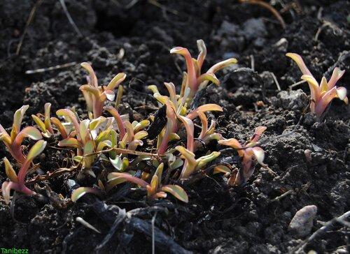 Мертензия приморская / Mertensia maritima весной