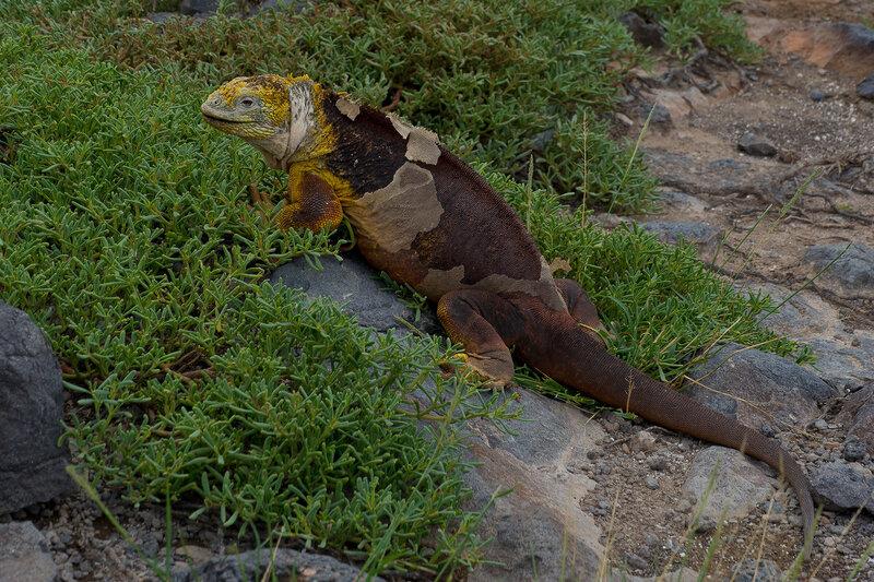 South Plaza - Isla Santa Cruz - Galapagos<br />  <br /> Land Iguanas - land leguanen<br /> <br /> http://www.ontdek-ecuador.be/galapagos/eilanden/santafe.html