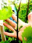 Веточка винограда 25 июня 2012