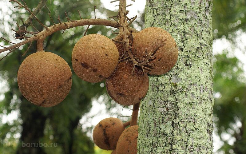Плоды курупиты гвианской (Couroupita guianensis)
