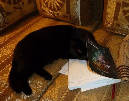Черная Британская кроткошерсная кошка
