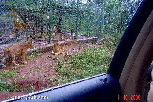тигры, сафари парк, хайнань, хайкоу, китай